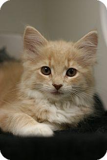 Domestic Longhair Kitten for adoption in Staunton, Virginia - Mia