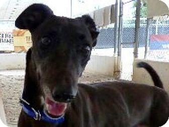Greyhound Dog for adoption in Aurora, Ohio - Sissy