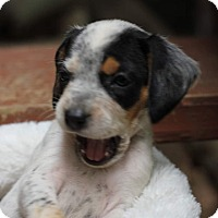 Adopt A Pet :: Willow - Fredericksburg, VA