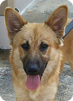 Shepherd (Unknown Type)/Labrador Retriever Mix Puppy for adoption in Boston, Massachusetts - A - LEXI