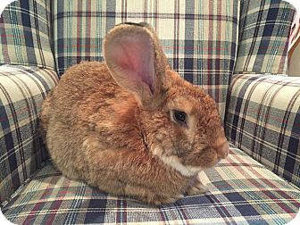 Flemish Giant for adoption in Grand Rapids, Michigan - Elmer