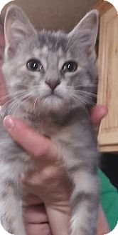 Domestic Shorthair Kitten for adoption in Columbus, Ohio - Mrs. Beasley