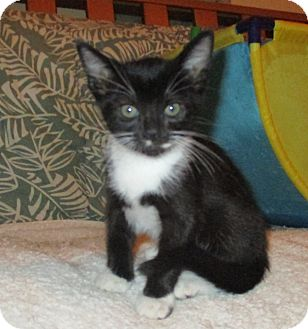 Domestic Shorthair Kitten for adoption in Hollywood, Florida - sarah
