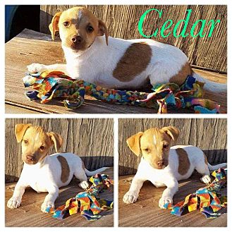 Chihuahua Mix Puppy for adoption in New Milford, Connecticut - Cedar