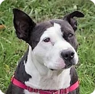 American Staffordshire Terrier Mix Dog for adoption in Fairfax, Virginia - Banjo