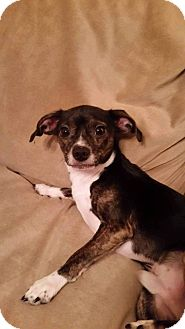 Chihuahua Mix Dog for adoption in Providence, Rhode Island - Frick