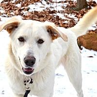 Adopt A Pet :: *Marshmallow - PENDING - Westport, CT