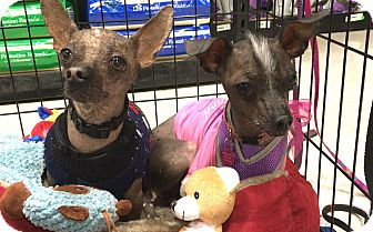 Chinese Crested Mix Dog for adoption in Phoenix, Arizona - Fang & Flower