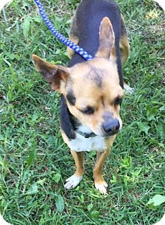Chihuahua Mix Dog for adoption in Manhattan, Kansas - Axel