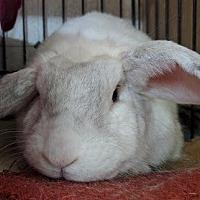 Adopt A Pet :: Georgie - Holbrook, NY