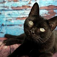 Adopt A Pet :: Elsa - Encino, CA