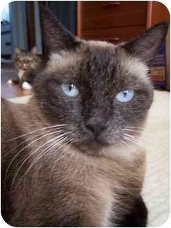 Siamese Cat for adoption in Chicago, Illinois - Gulliver