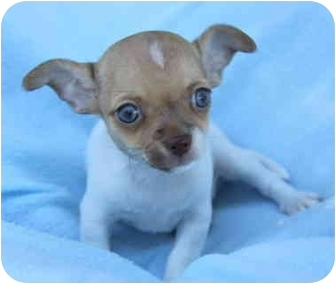 Rat Terrier/Fox Terrier (Toy) Mix Puppy for adoption in Newport Beach, California - LUKE
