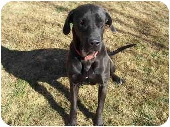 Great Dane Dog for adoption in Stockton, Missouri - MARMADUKE