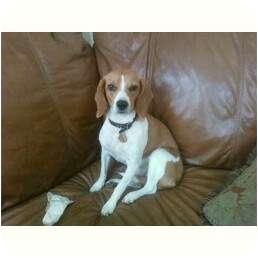 Beagle Dog for adoption in Naperville, Illinois - Suzi-courtesy posting