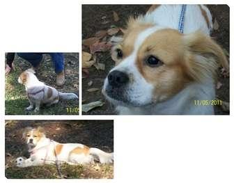 Pug/Cocker Spaniel Mix Dog for adoption in Haughton, Louisiana - Lady
