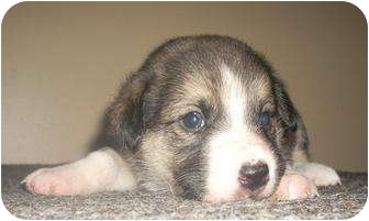 Collie/Shepherd (Unknown Type) Mix Puppy for adoption in Spruce Grove, Alberta - Alyra