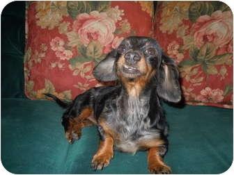 Dachshund Dog for adoption in Riverside, California - Mercedes