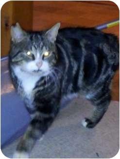 Domestic Shorthair Cat for adoption in Sterling Hgts, Michigan - Jasper