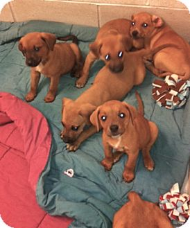 Redbone Coonhound/Labrador Retriever Mix Puppy for adoption in Cincinnati, Ohio - Redbone/ Labs