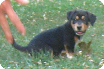 Labrador Retriever/Boxer Mix Puppy for adoption in Hillsboro, Ohio - Sebastian
