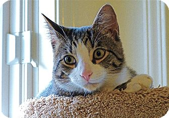 American Shorthair Cat for adoption in Victor, New York - Tucker
