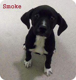 Labrador Retriever/Hound (Unknown Type) Mix Puppy for adoption in Slidell, Louisiana - Smoke