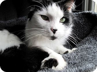 Domestic Longhair Cat for adoption in Nolensville, Tennessee - Patches