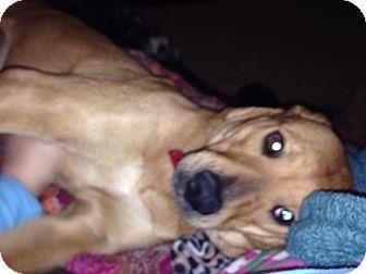 Labrador Retriever/Shepherd (Unknown Type) Mix Dog for adoption in West Hartford, Connecticut - Strawberry