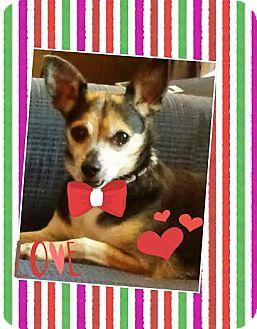 Terrier (Unknown Type, Medium)/Miniature Pinscher Mix Dog for adoption in Norwich, Connecticut - Billie Jean