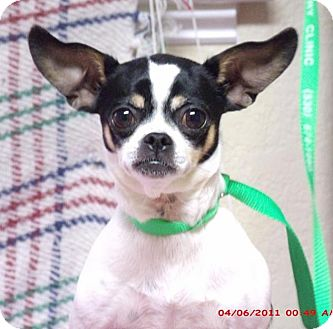 Chihuahua Mix Dog for adoption in Gridley, California - Sassy