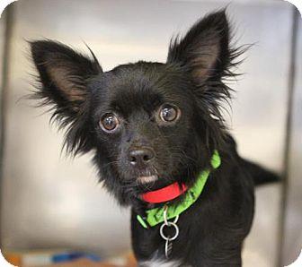 Papillon Dog for adoption in Atlanta, Georgia - Clover