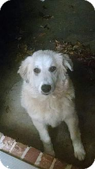 Golden Retriever Mix Puppy for adoption in BIRMINGHAM, Alabama - Sam IV (Sammie)