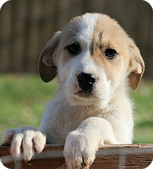 St. Bernard/Great Pyrenees Mix Puppy for adoption in Hagerstown, Maryland - Fredrik