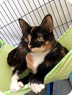 Domestic Shorthair Cat for adoption in Hanna City, Illinois - Lexi