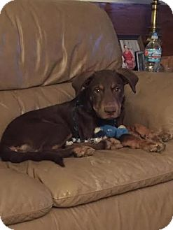 Doberman Pinscher/Labrador Retriever Mix Puppy for adoption in Columbus, Ohio - Jacoby
