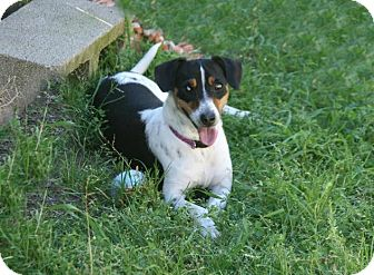 Rat Terrier Mix Dog for adoption in Lufkin, Texas - Jolly