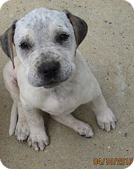 American Bulldog/English Setter Mix Puppy for adoption in Portland, Maine - Roxie