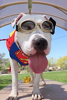 American Pit Bull Terrier Mix Dog for adoption in Las Vegas, Nevada - Kevin