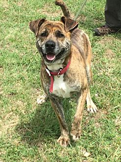 Pit Bull Terrier Mix Dog for adoption in Woodward, Oklahoma - Gator