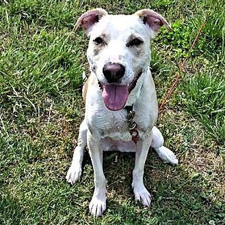 Shepherd (Unknown Type)/Pit Bull Terrier Mix Dog for adoption in Sidney, Maine - Zelda