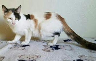 Calico Cat for adoption in San Dimas, California - Mama Joelle