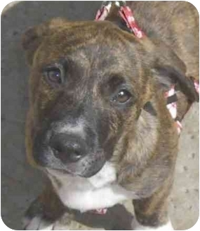 American Staffordshire Terrier/Basset Hound Mix Puppy for adoption in Rolling Hills Estates, California - Boots