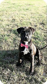 Border Collie/Labrador Retriever Mix Puppy for adoption in Wichita Falls, Texas - Toffee
