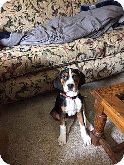 Coonhound (Unknown Type) Mix Puppy for adoption in Meridian, Idaho - Dan