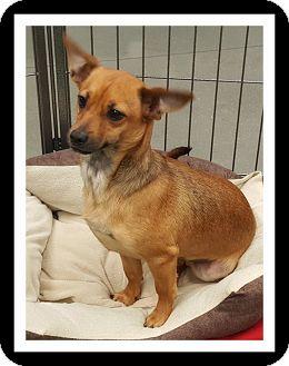 Dachshund/Chihuahua Mix Puppy for adoption in Winchester, California - MASON