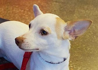 Chihuahua/Terrier (Unknown Type, Medium) Mix Puppy for adoption in Frisco, Texas - Jake