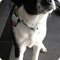 Adopt A Pet :: Bryar - Romeoville, IL