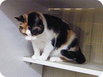 Domestic Shorthair Cat for adoption in Holland, Michigan - Roxy