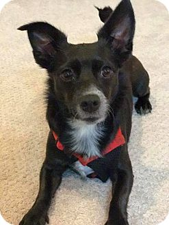 Chihuahua Mix Dog for adoption in Savannah, Georgia - Vixen